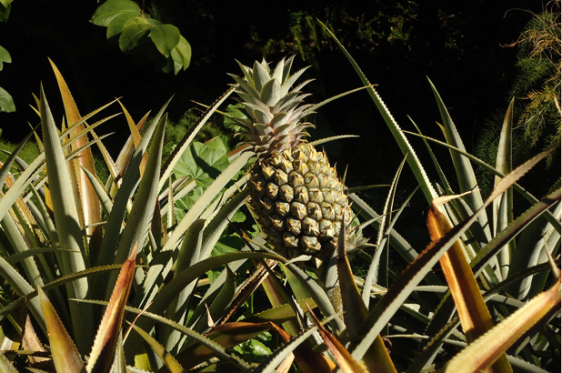 A pineapple growing in the kitchen garden at Vaucluse House.