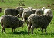 Merino sheep in a paddock at the Elizabeth Macarthur Agricultural Institute.