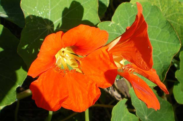 Bright orange Nasturtium flowers in the garden at Vaucluse House.