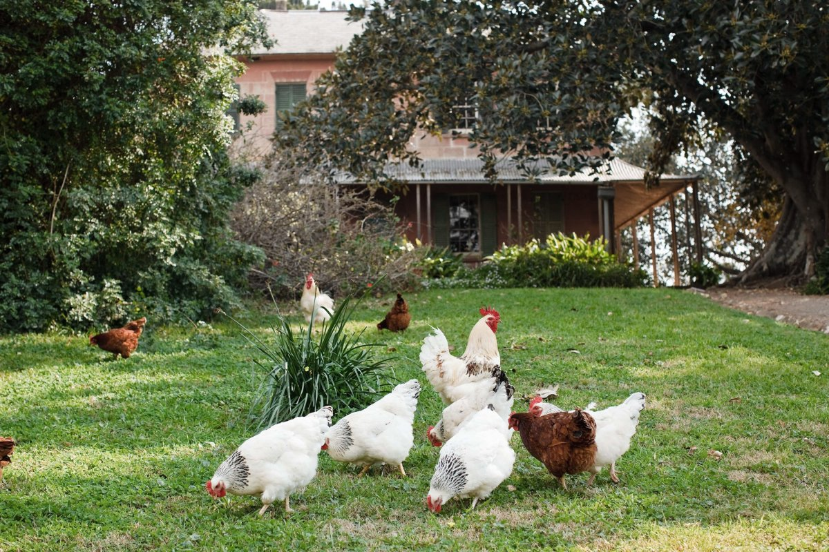 The chickens at Rouse Hill House and Farm parading across the lawns near the house.