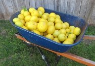 A wheel barrow filled with grapefruits.