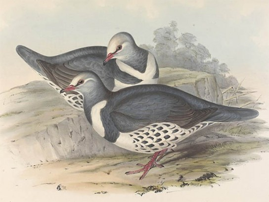 Lithograph of two Wonga Pigeons in a landscape.