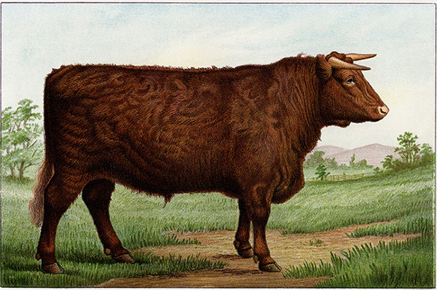 Illustration of a prize shorthorn