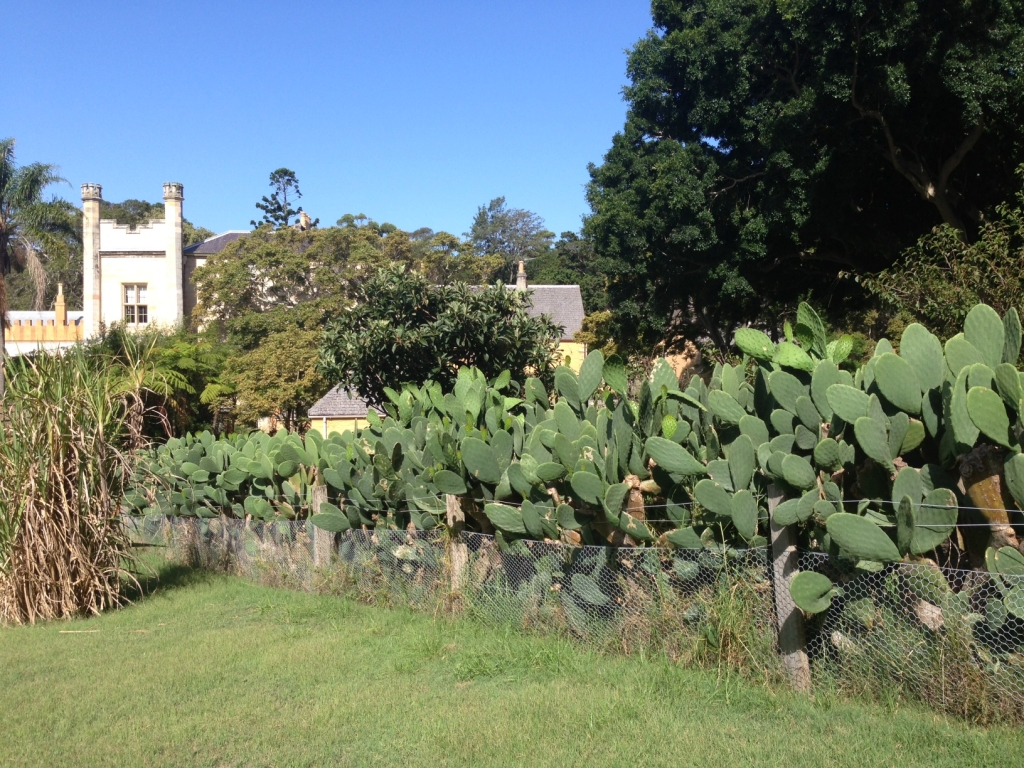 Prickly pear hedge at the Vaucluse House kitchen garden