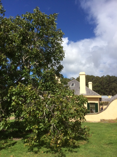 Walnut tree and Junior Medical Officer's house, Port Arthur, Tasmania.
