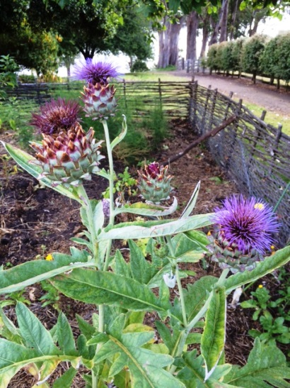 Artichokes in the kitchen garden, Commandant's cottage, Port Arthur