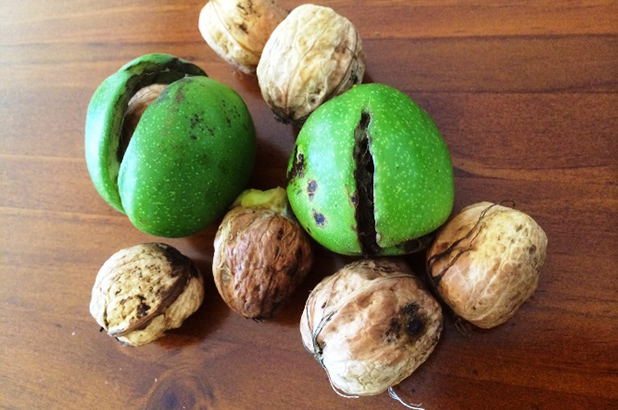 Walnuts, two still inside their green husk.