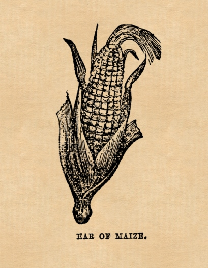 Cob of corn or maize