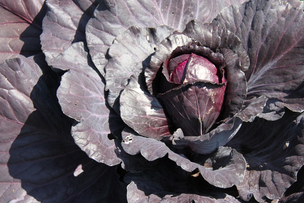 Close up of a purple cabbage