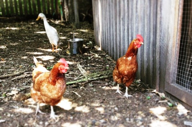 Happy hens make happy eggs - Ping (Indian runner) and the girls at Vaucluse House. Photo Latoya Schadel © Sydney Living Museums