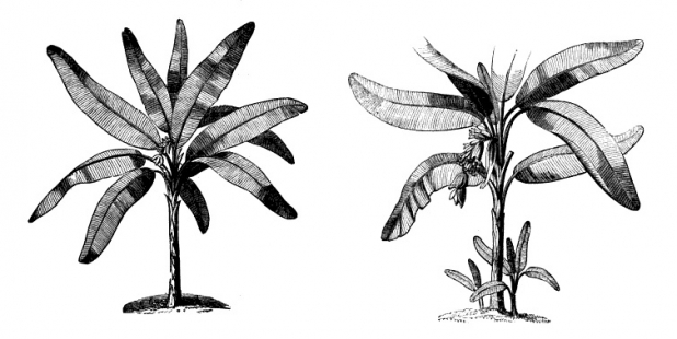 Musa paradisiaca and Musa sapientum from Paxtons 'Magazine of Botany and Register of Flowering Plants', Vol. 3, 1837. Image: Missouri Botanical Gardens